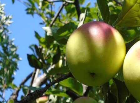 Златни български ябълки - сортове, които не бива да пренебрегваме