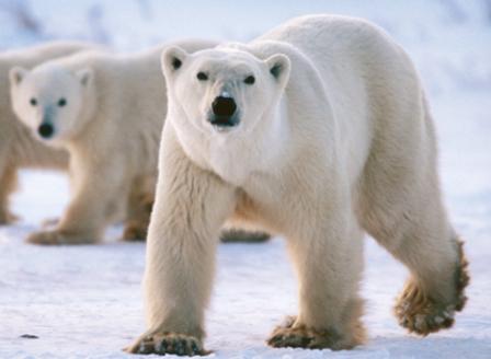 Нашествие на бели мечки в Русия