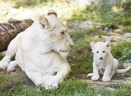 Редки бели лъвчета се родиха във Франция