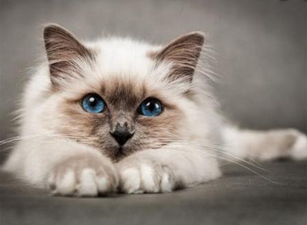 Опитват да създадат хипоалергенни котки