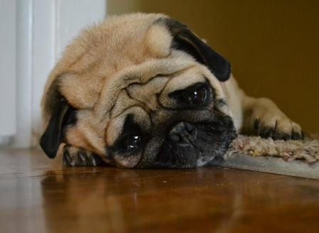 Кучетата също може да страдат от депресия