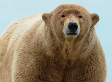 Фотограф засне полярен мечок със затлъстяване