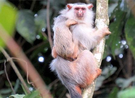 Откриха нов вид маймуна в  Амазония