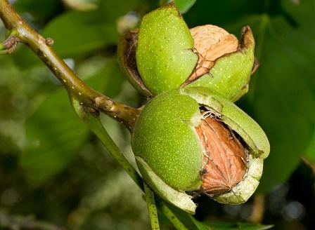 Пресните орехи за добро задрав и тънка талия
